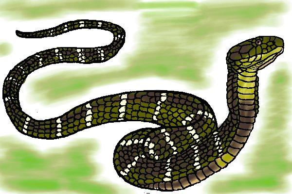 キングコブラの画像 p1_18