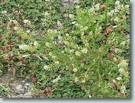 マメグンバイナズナの全体の花