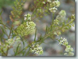 マメグンバイナズナの花