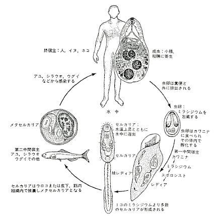 横川吸虫生活史
