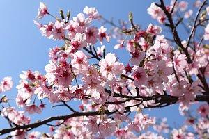 春2018 河津桜